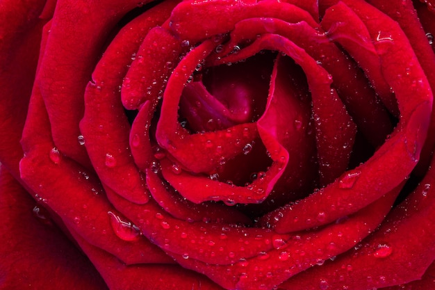 Rose rouge avec des gouttelettes d'eau