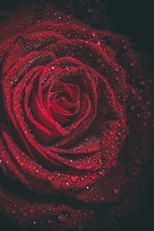 Rose rouge avec des gouttes de rosée dans des couleurs sombres