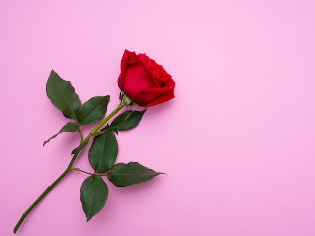 Rose rouge isolé sur fond rose.
