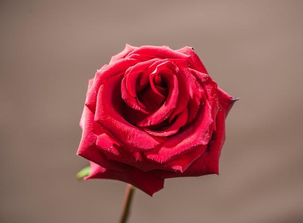 Une rose rouge sur une tige sur un fond gris