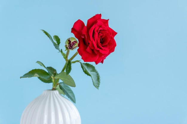 Rose rouge unique dans un vase en céramique gris sur fond bleu avec espace de copie.