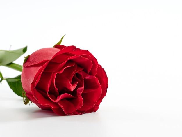 Rose rouge unique sur fond blanc