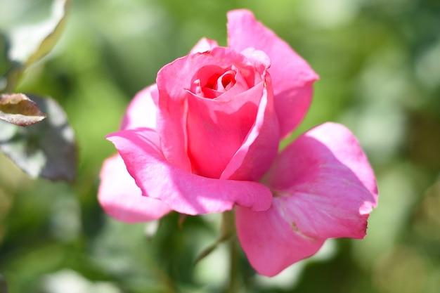 Rose de thé avec des bourgeons sur fond vert
