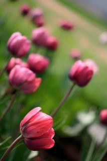 Rose tulipe tulipes