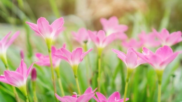 Rose zephyranthes lily fleur dans un jardin.