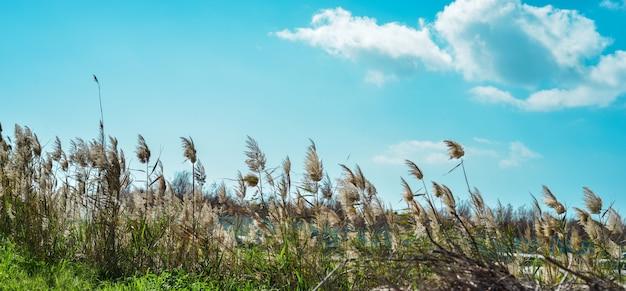 Roseaux sur le lac avec un ciel bleu clair