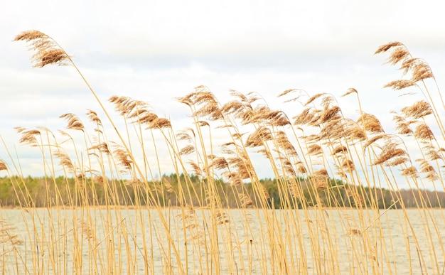Des roseaux secs se balancent dans le vent sur la rive d'un magnifique lac forestier.