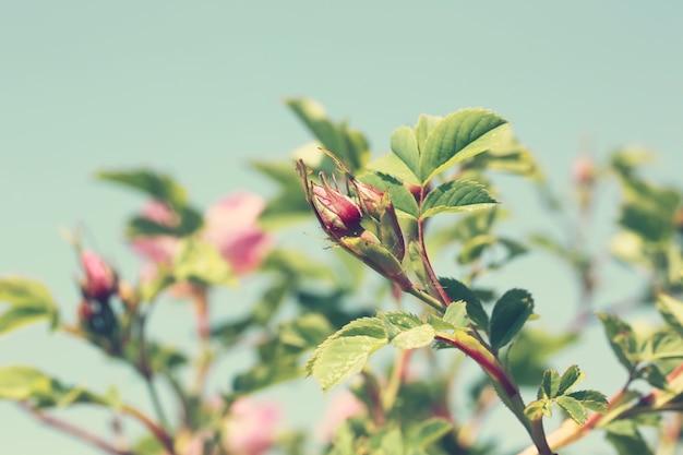 Rosebud rosiers sauvages dans le jardin été printemps