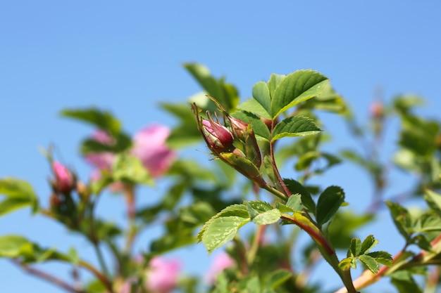 Rosebud sauvages rosiers dans le jardin