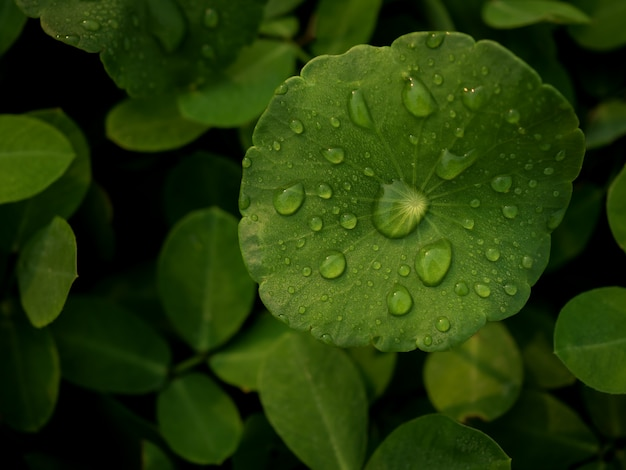 Rosée sur centella asiatica après la pluie