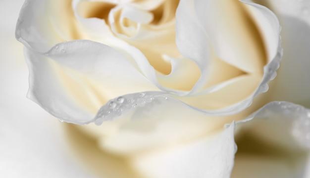 Rosée sur les pétales d'une rose blanche. fleurs fraîches dans un chalet d'été