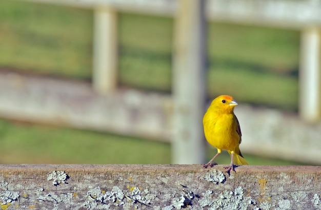Roselin jaune safran sur une clôture de ferme