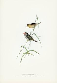 Roselin à queue rouge (estrelda ruficauda) illustré par elizabeth gould