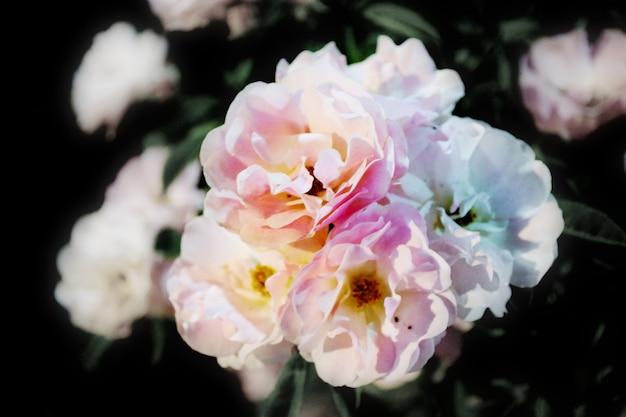 Les roses blanches fleurissent