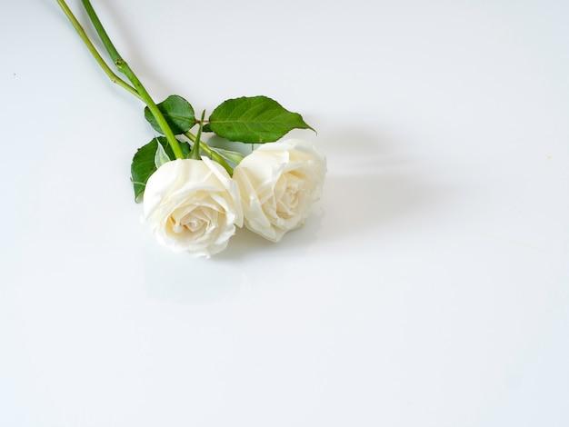 Roses blanches sur fond blanc. pour la saint valentin.