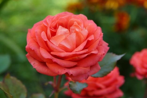 Roses de corail en pleine floraison dans un jardin de roses