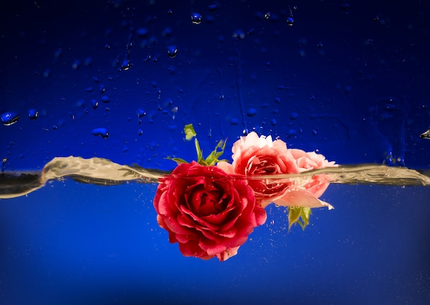 Roses dans l'eau