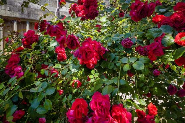 Roses dans le jardin du palais historique 1848 du comte vorontsov avec vue sur la mer alupka crimée