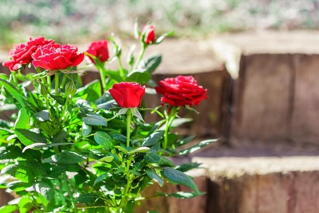 Roses dans le jardin. fleurs sur fond de bois et de pierre.