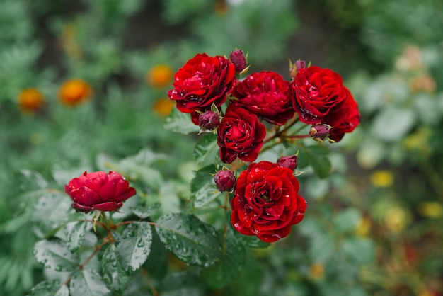 Roses de fleurs rouges dans le jardin après la pluie