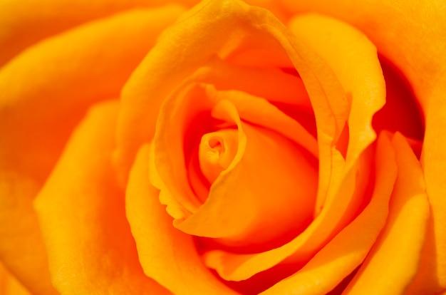 Roses floues avec fond flou