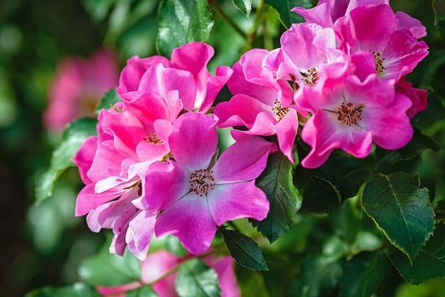 Roses de jardin rose magenta dans le jardin d'été