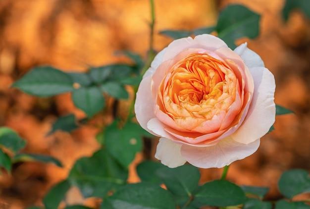 Roses multicolores dans le petit jardin
