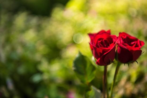 Roses en naturel. fond du concept de jour de la saint-valentin et le concept de l'amour.
