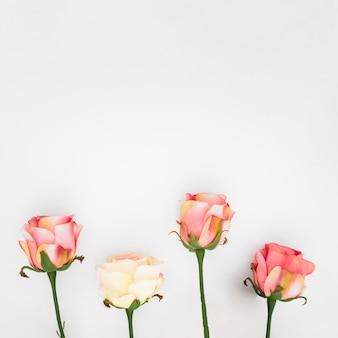 Roses naturelles sur fond blanc avec fond