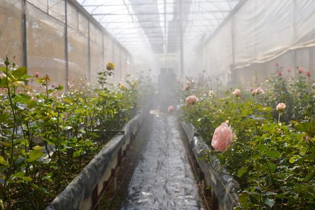 Roses de plantation dans une serre, roses en fleurs dans une serre dans une ferme de roses