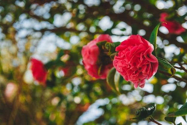 Roses poussant sur la branche d'un arbre