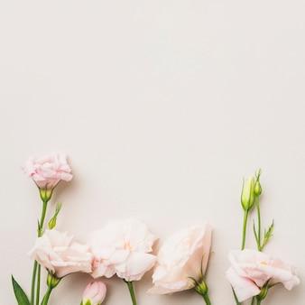 Roses roses sur blanc