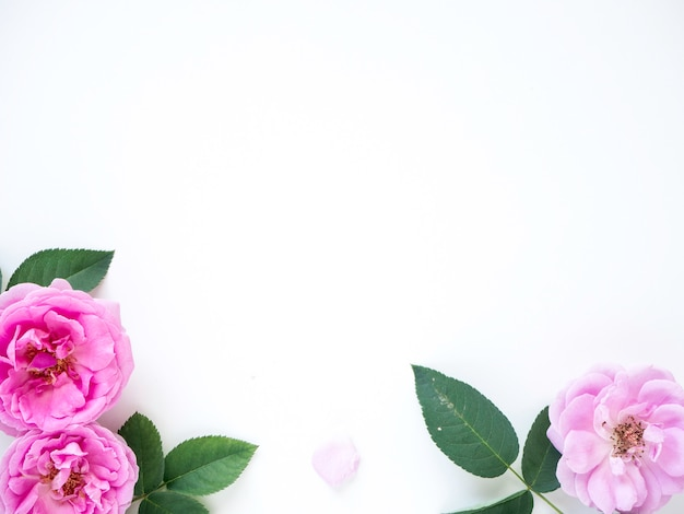 Roses roses avec des bourgeons sur fond blanc