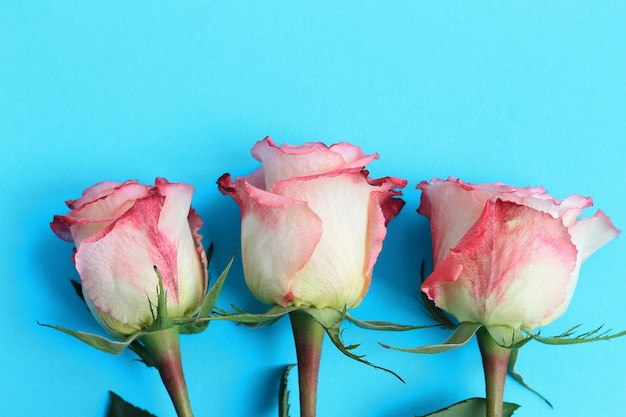 Roses roses sur fond bleu