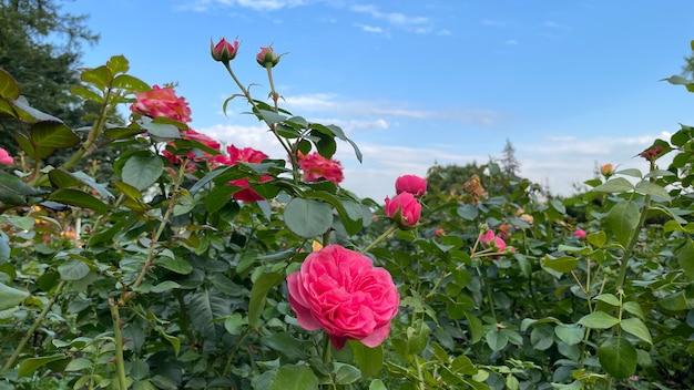 Roses roses sur fond de ciel bleu