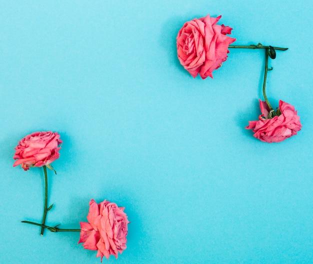Roses roses fraîches disposées sur un fond turquoise