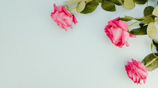 Roses roses naturelles avec espace copie