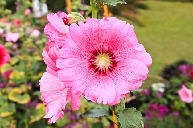 Roses roses trémières (althaea rosea)