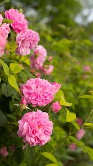 Roses roses.