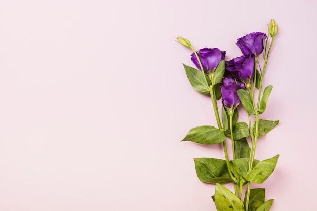 Roses violettes sur fond rose