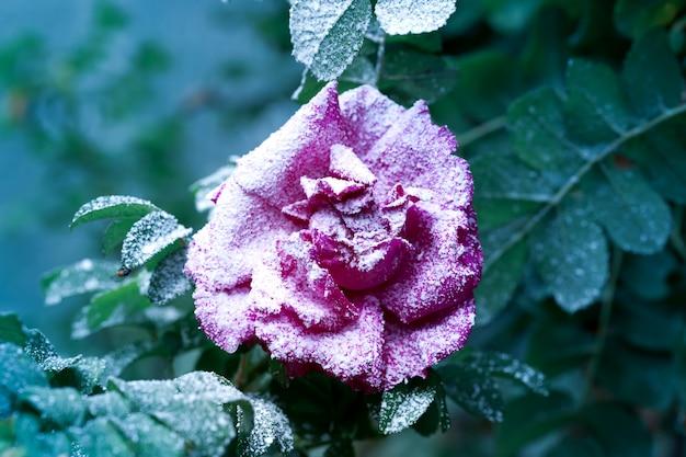 Rosier enneigé avec fleur et bourgeons hiver première neige