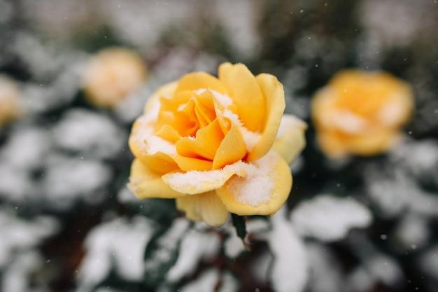 Rosier jaune couvert de neige dans un parc d'hiver.