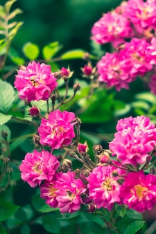 Rosiers arbustifs dans le jardin, fond de nature colorée. papier peint fleuri. rosier, fleurs roses en été. beau bokeh. mise au point sélective.