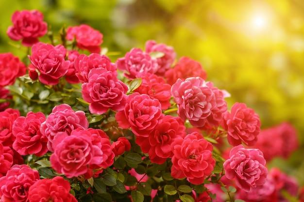 Rosiers roses en fleurs jardin d'été