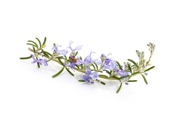 Rosmarinus Officinalis Prostratus Photo Premium
