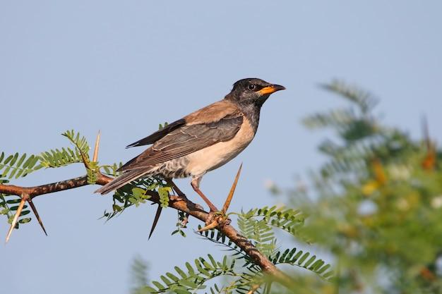Rosy starling pastor roseus beaux oiseaux de thaïlande