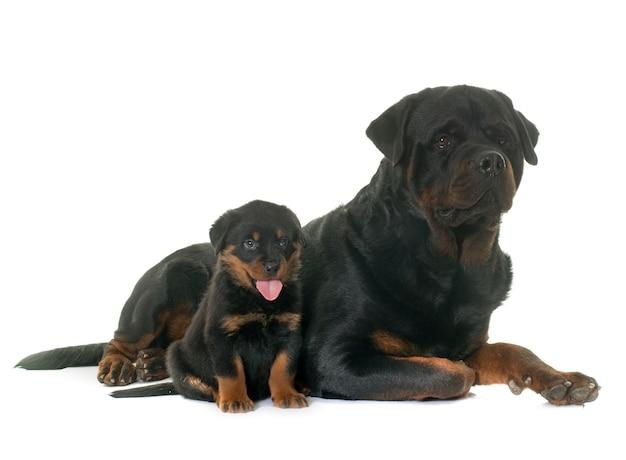 Rottweiler adulte et chiot