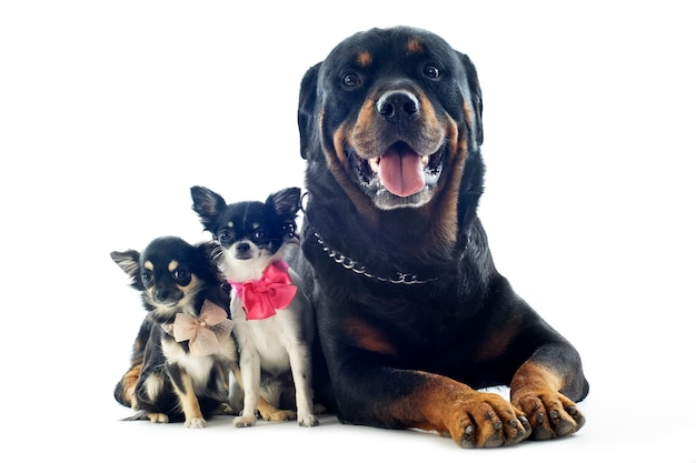 Rottweiler et chihuahuas