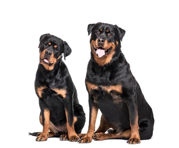 Rottweiler dogs assis ensemble et haletant
