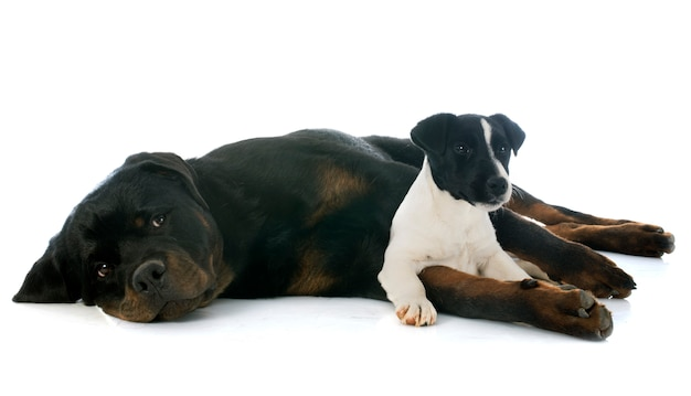 Rottweiler et jack russel terrier